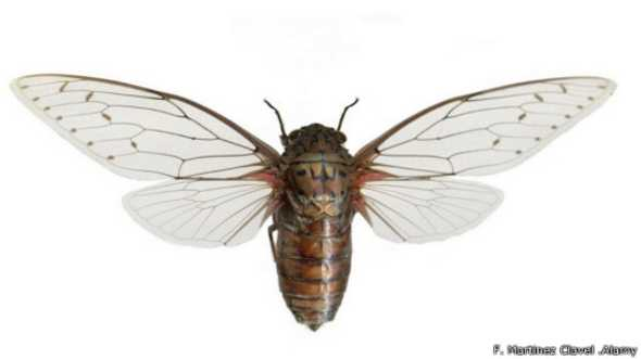 141008163213_the_loudest_insect_in_the_world_512x288_f.martinezclavel.alamy